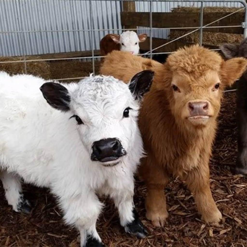 Fluffy Cows